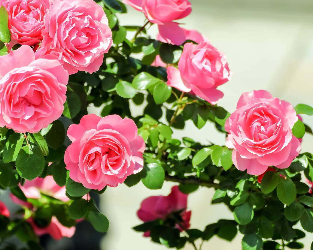 mostra rose