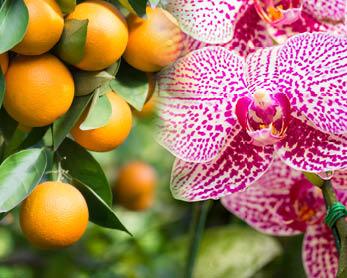 Agrumi Orchidee